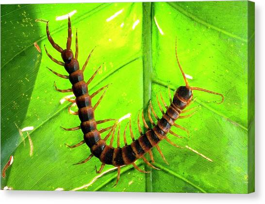 Centipedes Canvas Print - Centipede On A Leaf by Philippe Psaila/science Photo Library