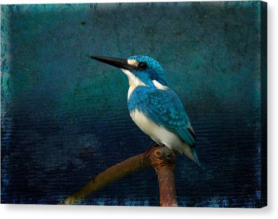 Cerulean Kingfisher Blue Alcedo Coerulescens Canvas Print
