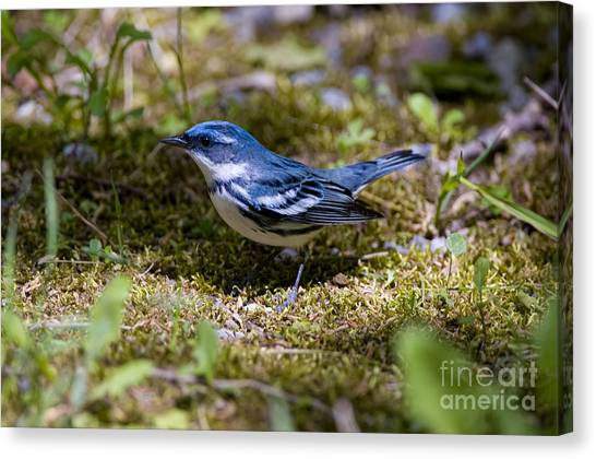 Canvas Print - Cerulean Warbler Pictures 29 by World Wildlife Photography