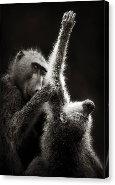 Groom Canvas Print - Chacma Baboons Grooming by Johan Swanepoel