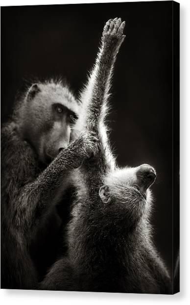 Groom Canvas Print - Chacma Baboons Grooming by Johan Swanepoel