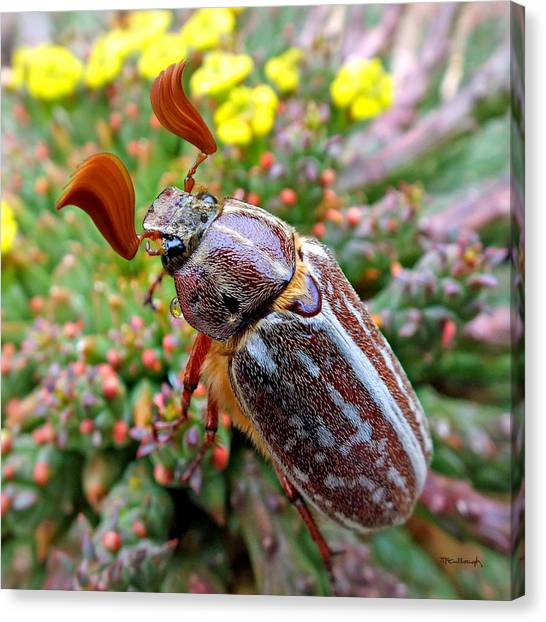 Chafer Beetle On Medusa Succulent 2 Canvas Print
