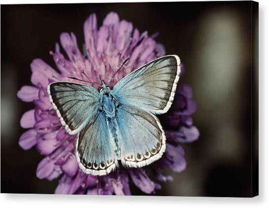 Chalkhill Blue Butterfly (lysandra Coridon), Close-up Canvas Print by Alan P Barnes