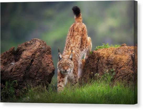 Lynx Canvas Print - Challenge by Sergio Saavedra Ruiz