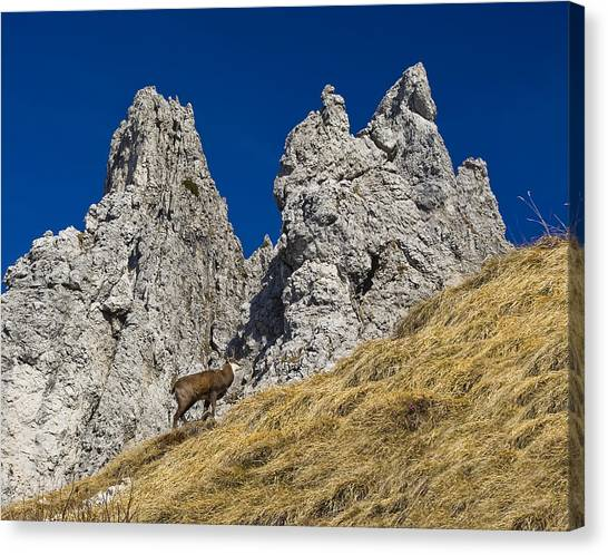 chamois in Alps Canvas Print by Ioan Panaite