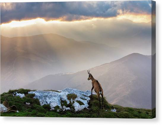 Animal Canvas Print - Chamois In Piatra Craiului Romania by Dan Mirica