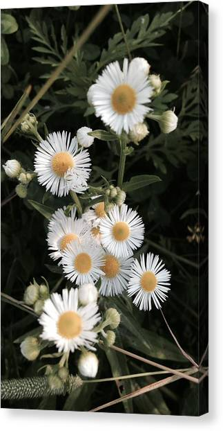 Chamomile Flowers. Canvas Print