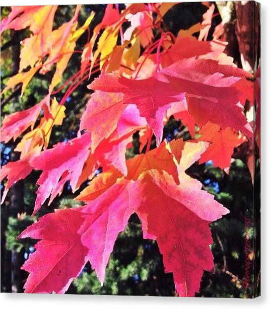 Orange Tree Canvas Print - Changing Seasons Red Maple Leaves by Anna Porter