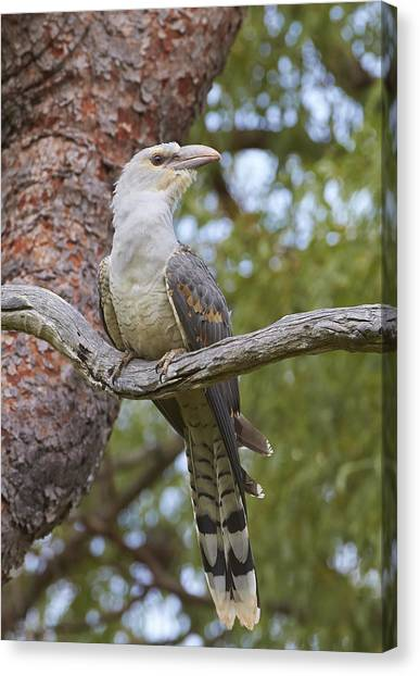 Cuckoo Canvas Print - Channel-billed Cuckoo Fledgling by Martin Willis