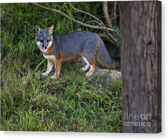 Channel Island Fox Canvas Print