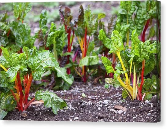 Vegetable Garden Canvas Print - Chard In Vegetable Garden by Ashley Cooper