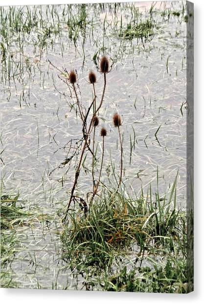 Chardons Trempes Canvas Print
