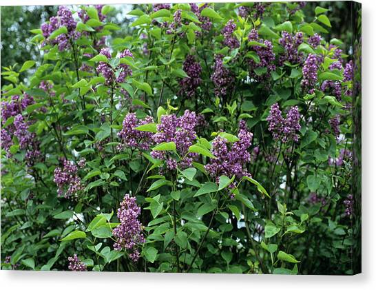 Lilac Bush Canvas Print - Charles Joly Lilac Flowers by Adrian Thomas/science Photo Library