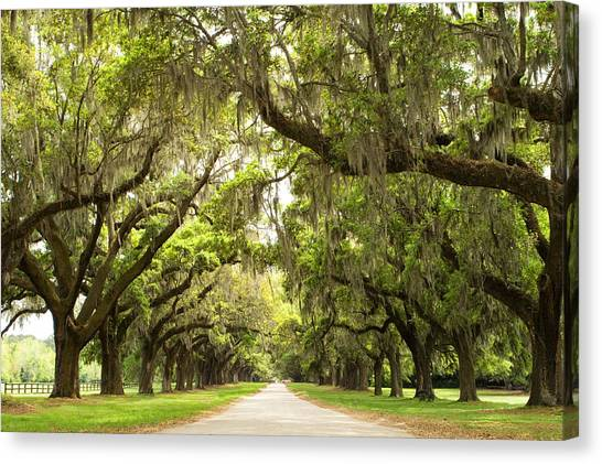 Plantation Canvas Print - Charleston Avenue Of Oaks by Stephanie McDowell