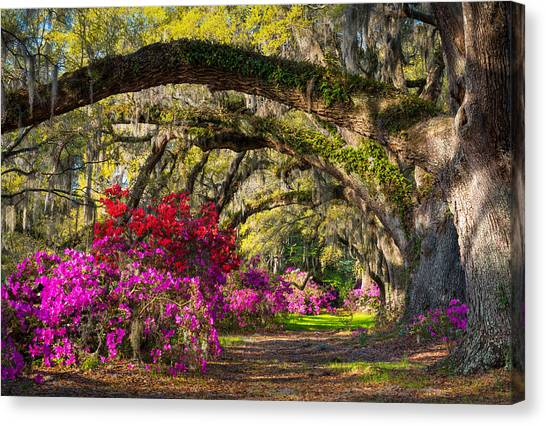 Charleston Sc Spring Azalea Flowers - A Servant's Grace Canvas Print