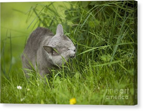 Chartreuxes Canvas Print - Chartreux Cat And Grass by Jean-Michel Labat