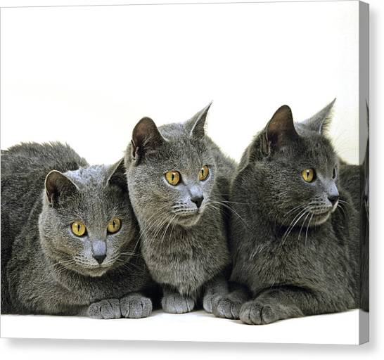 Chartreuxes Canvas Print - Chartreux Domestic Cat by Gerard Lacz