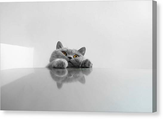 Chartreux Rearing Up On Table Against Canvas Print by Dipak Maske / Eyeem