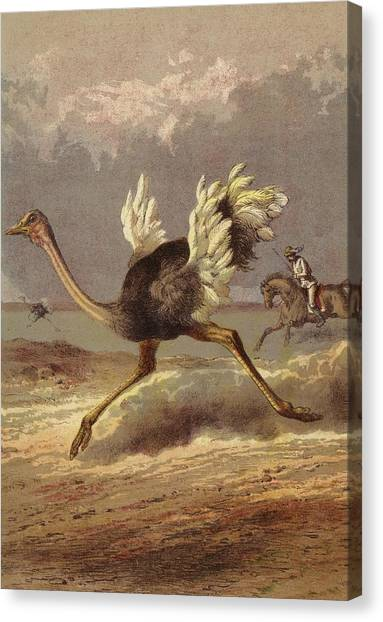 Ostriches Canvas Print - Chasing The Ostrich by English School