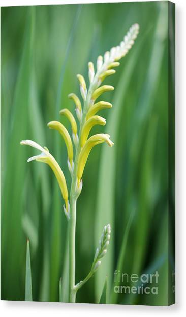Cape Lily Canvas Print - Chasmanthe  by Neil Overy