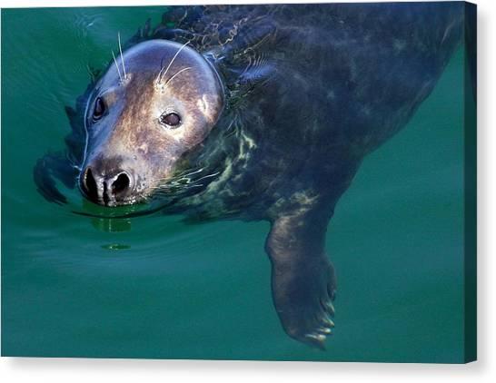 Chatham Harbor Seal Canvas Print