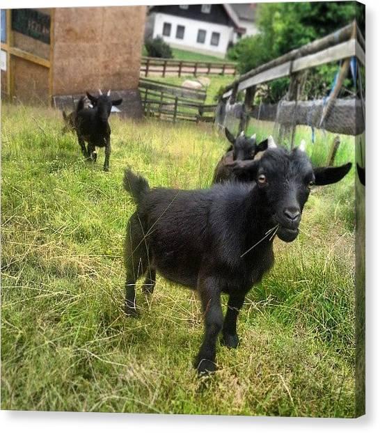 Goats Canvas Print - Chceš Vidět Kozy? #kozy #nofilter by Jan Barton