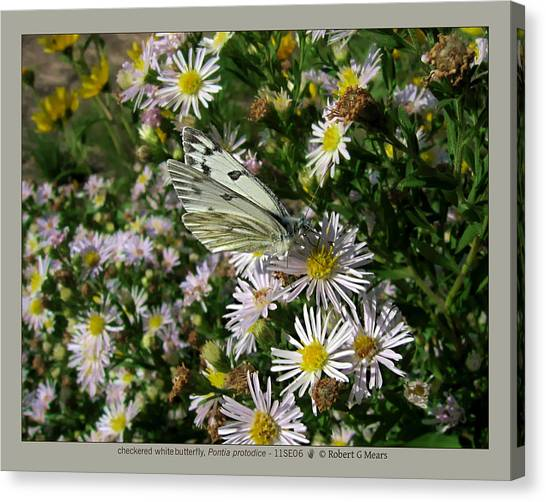 checkered white butterfly - Pontia protodice - 11SE06 Canvas Print by Robert G Mears