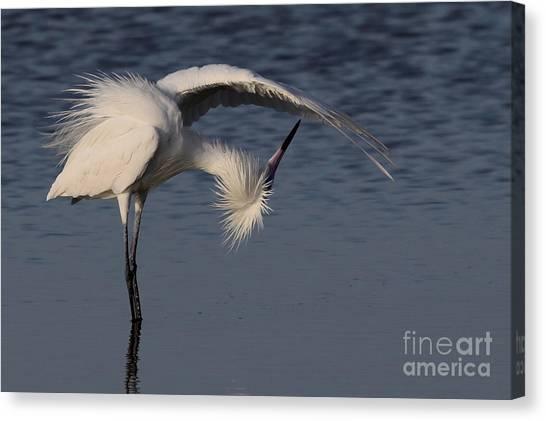 Checking For Leaks - Reddish Egret - White Form Canvas Print