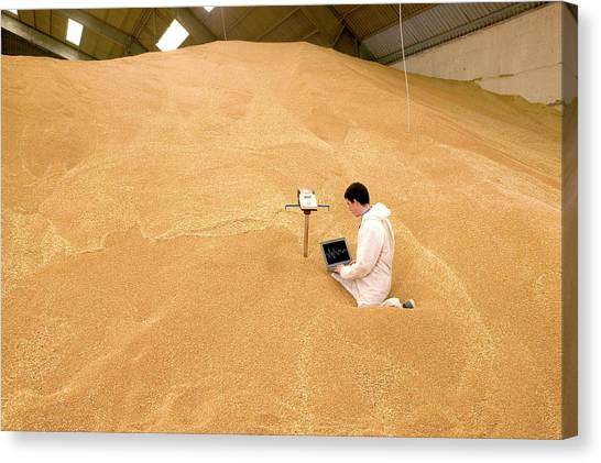 Warehouses Canvas Print - Checking Wheat For Weevils by Pascal Goetgheluck/science Photo Library