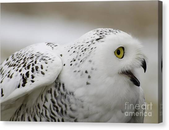 Cheeky Snow Owl Canvas Print