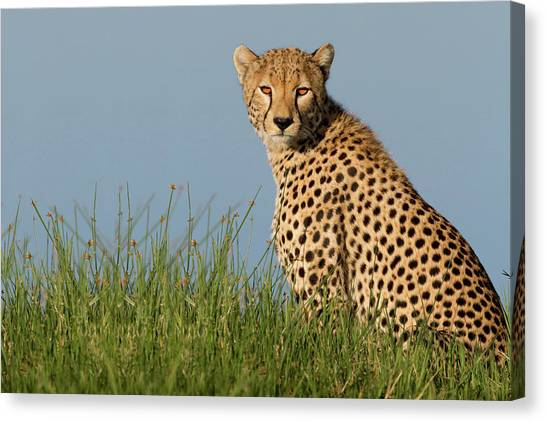 Camouflage Canvas Print - Cheetah by Alessandro Catta
