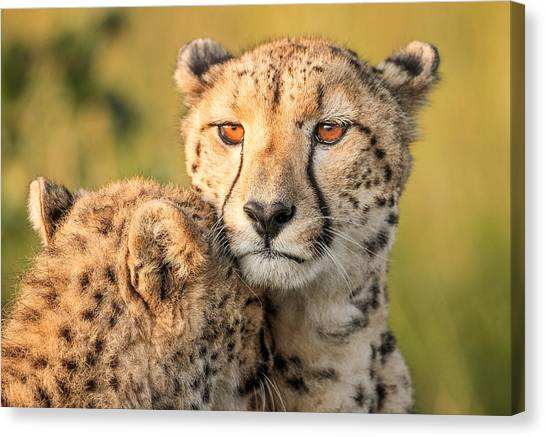 Cheetahs Canvas Print - Cheetah Eyes by Jaco Marx