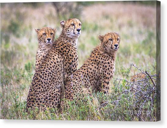 Cheetah Family Canvas Print