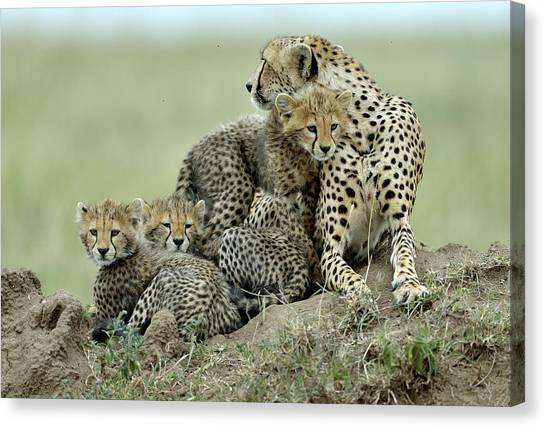 Cheetahs Canvas Print - Cheetah by Giuseppe D\\\amico