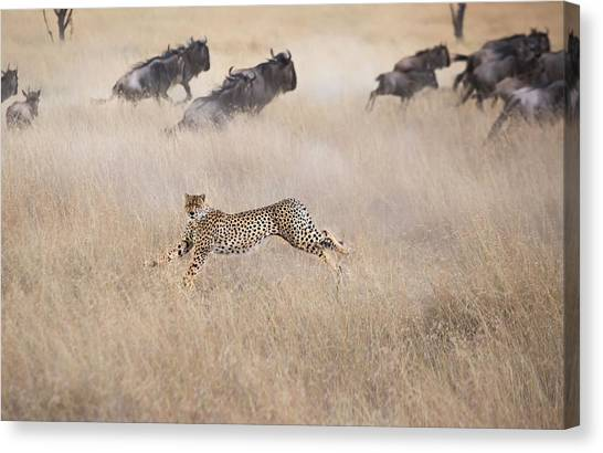 Cheetahs Canvas Print - Cheetah Hunting by Jun Zuo