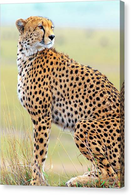 Kenyan Canvas Print - Cheetah On Grassy Plain by Babak Tafreshi