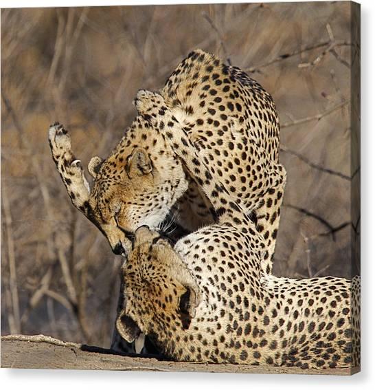 Cheetah Play Canvas Print