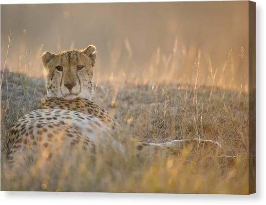 Cheetah Prepares To Sleep Canvas Print by Richard Berry