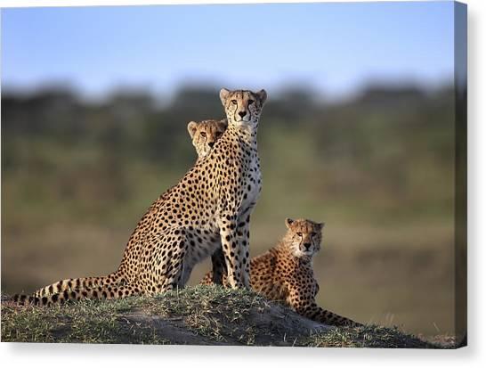 Scouting Canvas Print - Cheetahs Family by Sultan Sultan Al