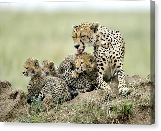Tongue Canvas Print - Cheetahs by Giuseppe D\\\'amico