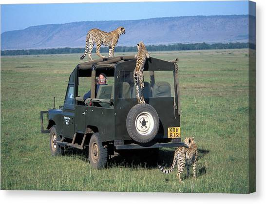 African Resort Canvas Print - Cheetahs On Four Wheel Drive Vehicle by Vintage Images
