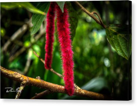 Chenille   Red Hot Cat Tail Canvas Print by William Reek