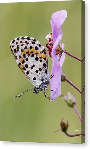 Chequered Canvas Print - Chequered Blue Butterfly by Heath Mcdonald