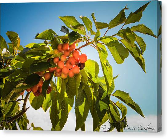 Cherries In The Sun Canvas Print by Marie  Cardona