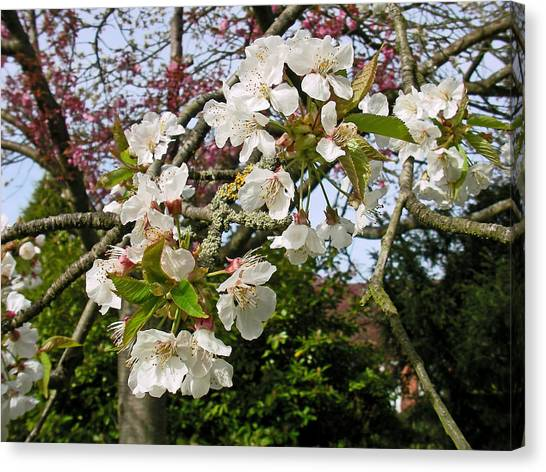 Cherry Blossom In The Spring Canvas Print