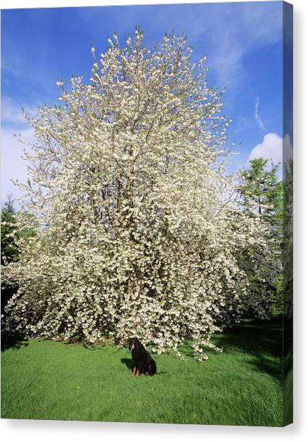 Andy Bloom Canvas Print - Cherry Blossom Tree by Andy Williams/science Photo Library