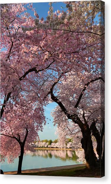 Cherry Blossoms 2013 - 024 Canvas Print