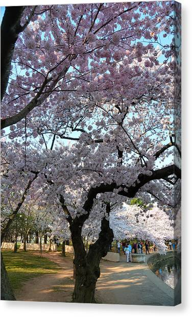 Cherry Blossoms 2013 - 044 Canvas Print