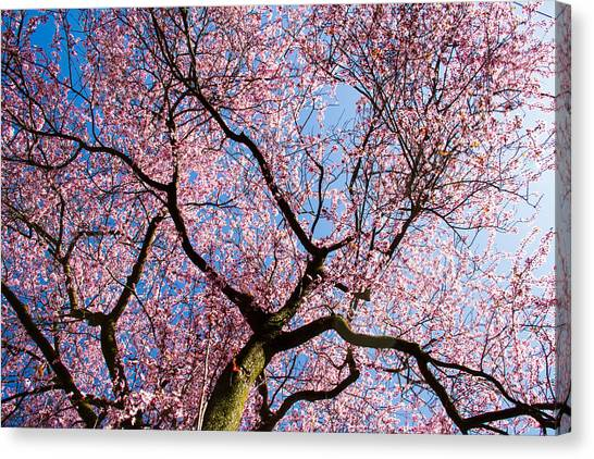 Cherry Blossoms All Over Canvas Print