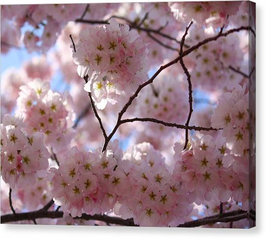 Cherry Blossoms And Blue Sky-1 Canvas Print